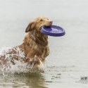 Tolling Retriever - Shaely